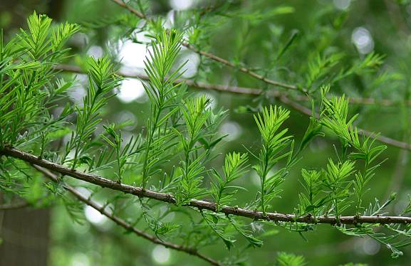 Taxodium distichum - Sumpfzypresse - bald cypress