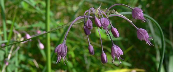 Allium carinatum - Gekielter Lauch - keeled garlic