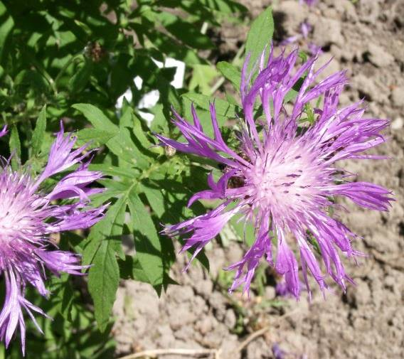 Centaurea dealbata - Flockenblume - whitewash cornflower